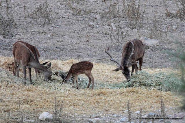 ciervo rojo comiendo hierba