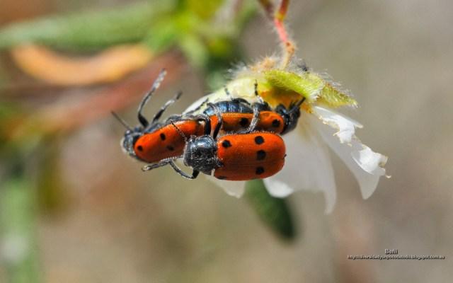 fondo de pantalla de coleopteros copulando