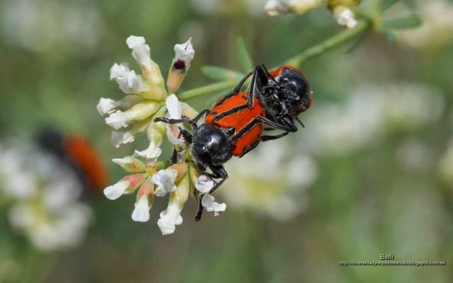 fondo de pantalla de coleopteros en copula