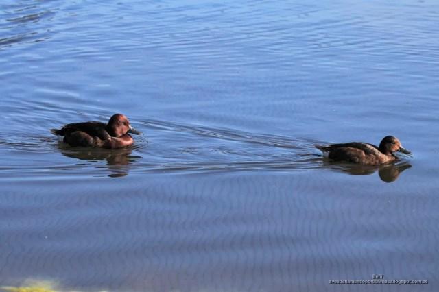 Porron pardo, ferruginous duck, Aythya nyroca