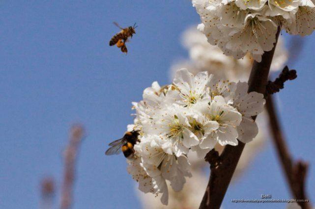 abeja melifera y abejorro bombus terrestres