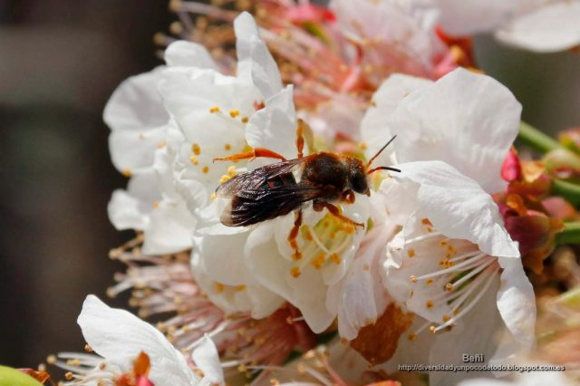 Rhodanthidium sticticum en la flor del almendro