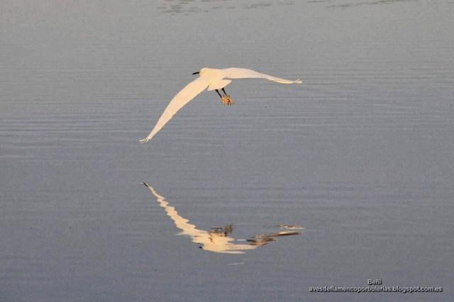 Garceta común volando sobre un charco de las salinas