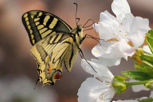 Papilio machaon o mariposa macaón