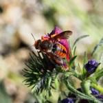 Rhodanthidium sticticum o abeja roja