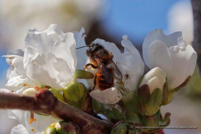 Andrena fulva en la flor del cerezo