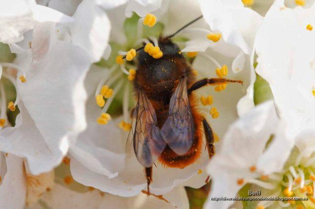 Andrena fulva libando en la flor del cerezo