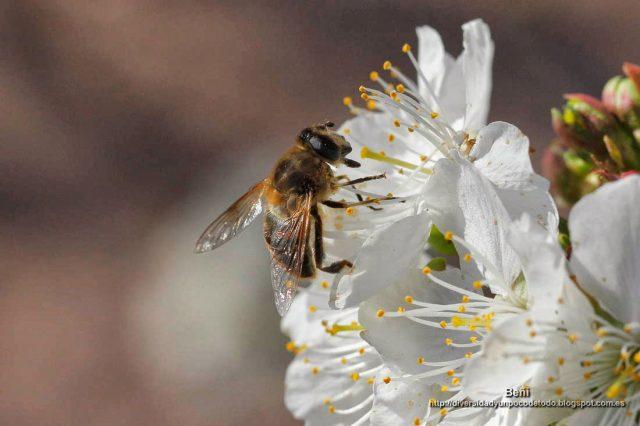 Eristalis tenax libando en la flor del cerezo