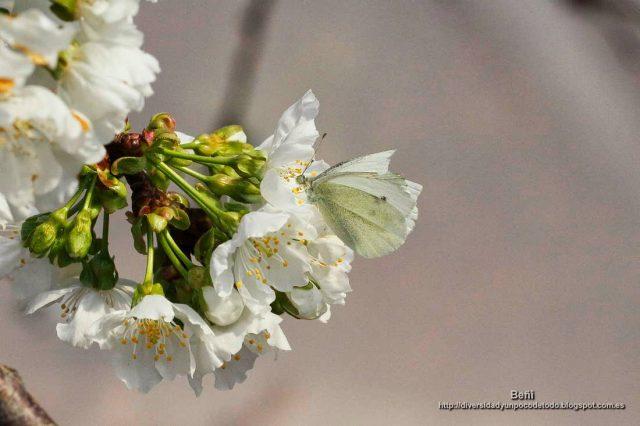 Pieris brassicae en la flor del cerezo