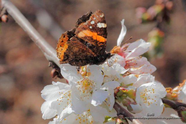 Vanessa atalanta de la flor del cerezo
