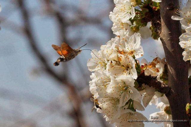 Macroglossum stellatarum libando en la flor del cerezo