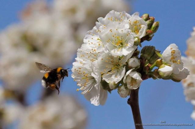 Bombus terrestris o abejorro común.