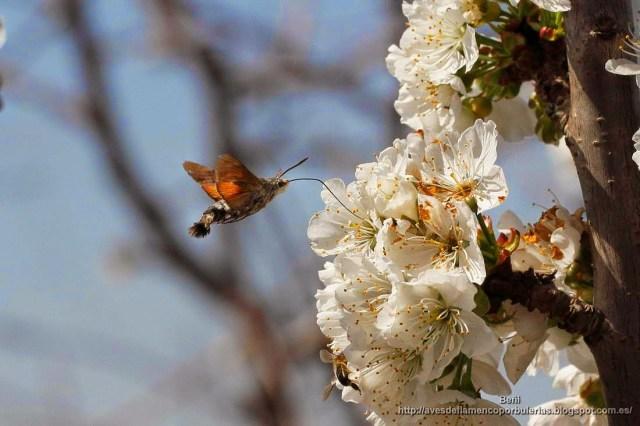 Macroglossum stellatarum o esfinge colibri.
