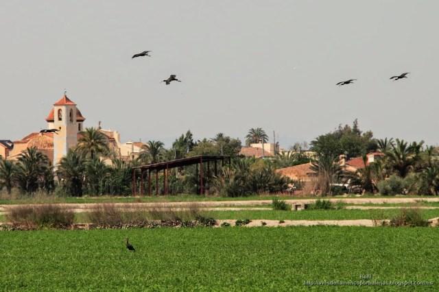 Morito comun, glossy ibis, Plegadis falcinellus
