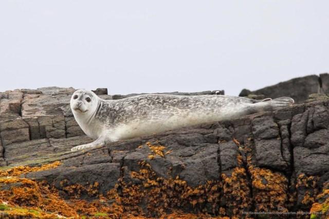 La foca comun (Phoca vitulina) en islandia
