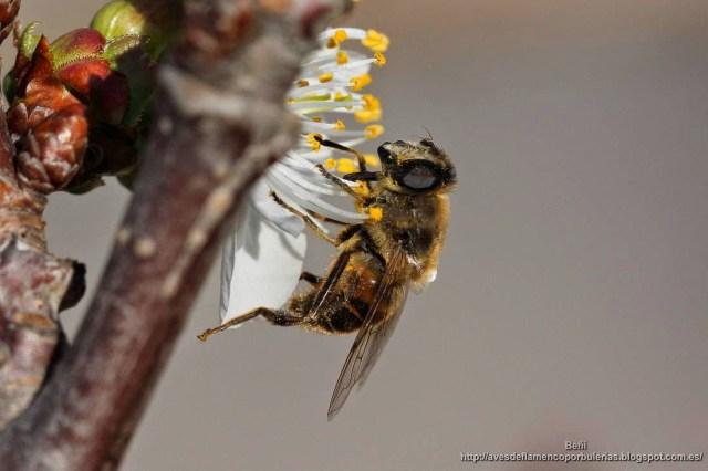 el sirfido Eristalis tenax o mosca zángano