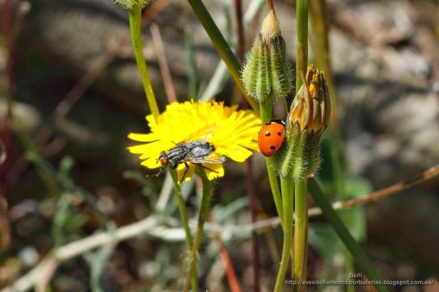 Coccinella septempunctata o mariquita de siete puntos