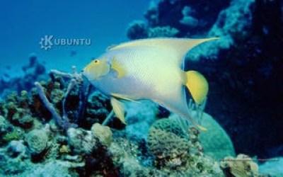 https://www.diversidadyunpocodetodo.com/fondos-pantalla-wallpapers-kubuntu-naturaleza-pez-angel-arrecife-cora/