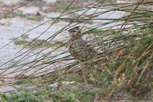 Cogujada común; crested lark , Galerida cristata