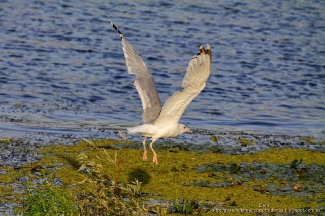 Gaviota del Caspio, caspian gull, Larus cachinnans