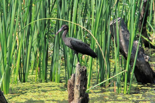 Morito común, glossy ibis, Plegadis falcinellus