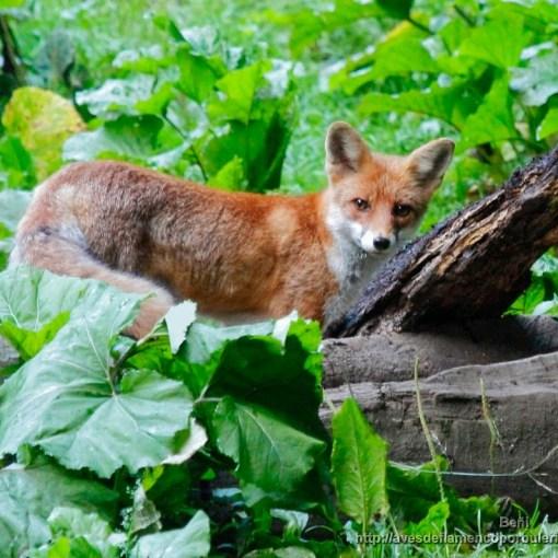zorro rojo o comun (red fox, Vulpes vulpes) en los carpatos