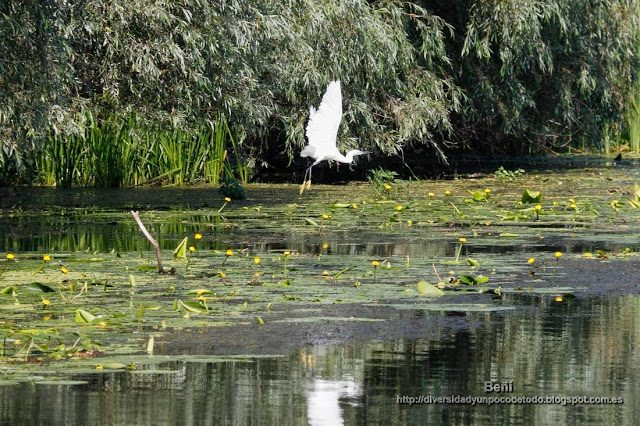 garceta blanca en el delta del danubio