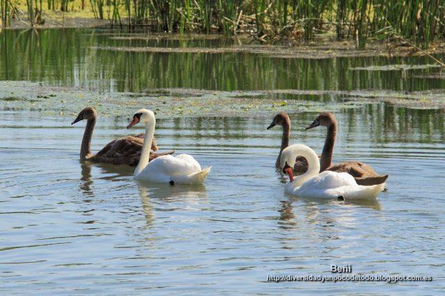 juveniles y adultos de cisne blanco en el delta del danubio