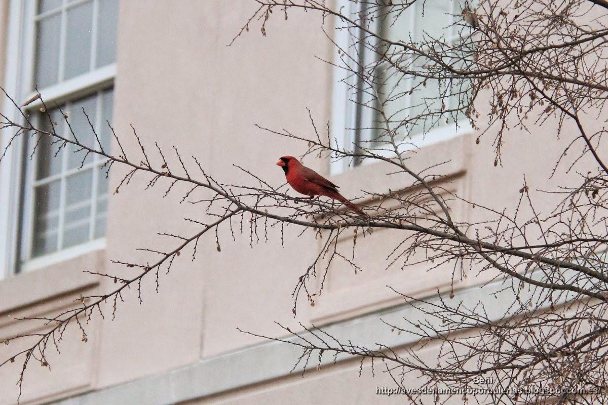 Cardenal, cardenal rojo, cardenal norteño, northern cardinal, Cardinalis cardinalis.