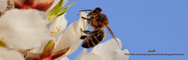 abeja melifera de perfil