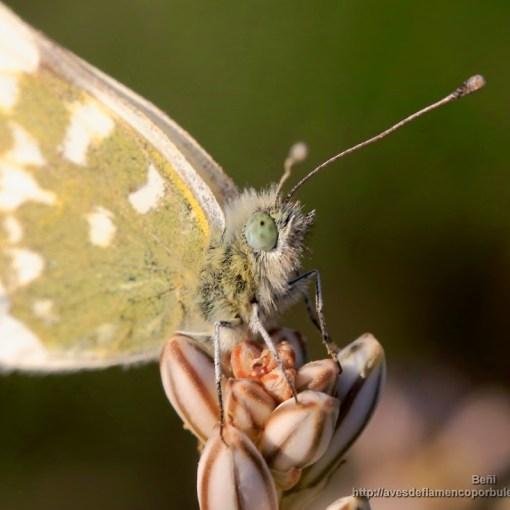 Pontia daplidice (mariposa de la mostaza, bath white)