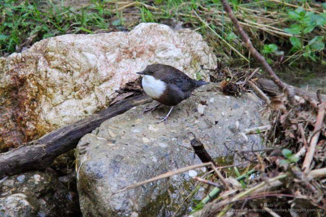 Mirlo acuático europeo o white-throated dipper o Cinclus cinclus