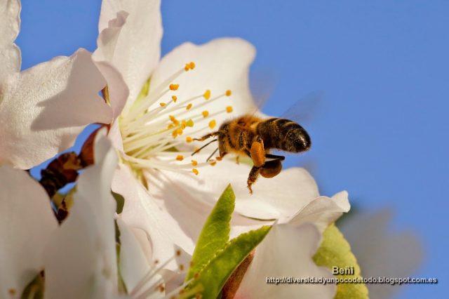 abeja melifera volando hacia la flor