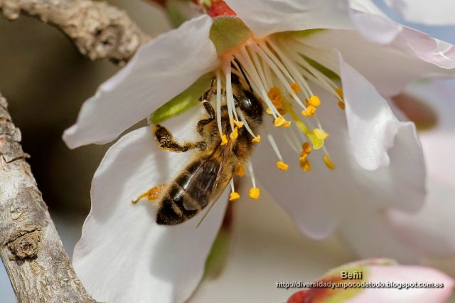 abeja melifera entre los estambres de la flor