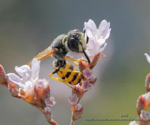 Ceramius es una avispa del polen