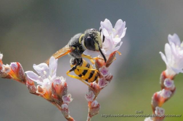 Ceramius sp., avispa del polen