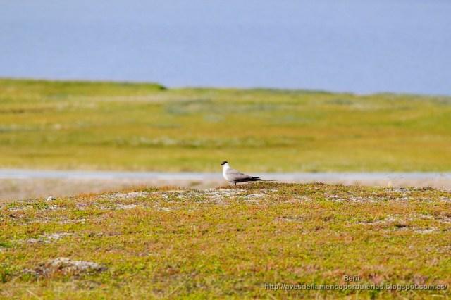 Pagalo rabero, long-tailed jeager, Stercorarius longicaudus.