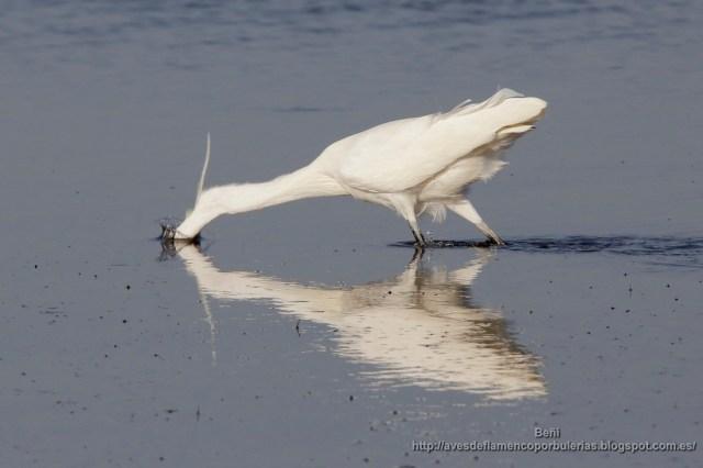 garceta comun de pesca al rastreo (little egret, egretta garzetta)