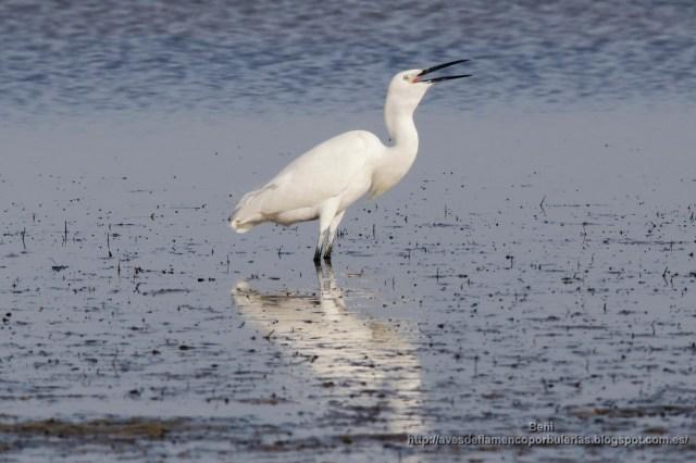 garceta comun de pesca (little egret, egretta garzetta), y tragando un pez