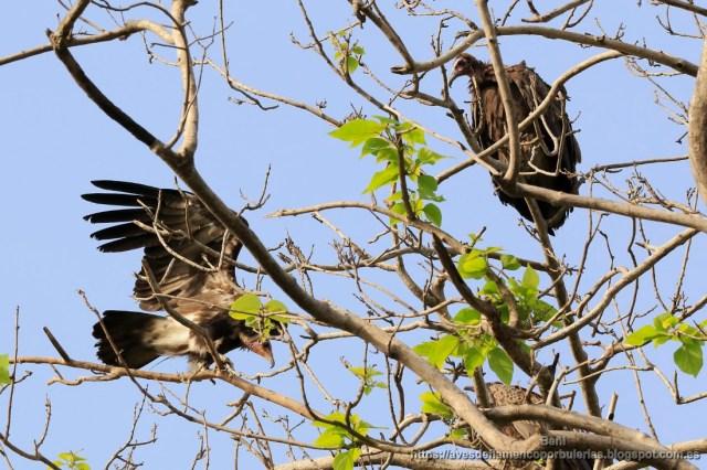 Alimoche sombrio, hooded vulture, Necrosyrtes monachus