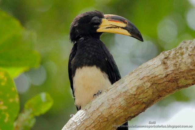 Toco blanquinegro, Congo (or African) pied hornbill, Lophoceros fasciatus