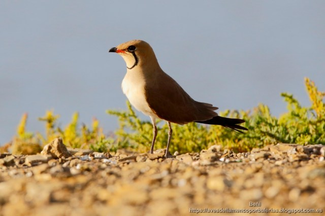 Canastera comun, collared pratincole or common pratincole, Glareola pratincola