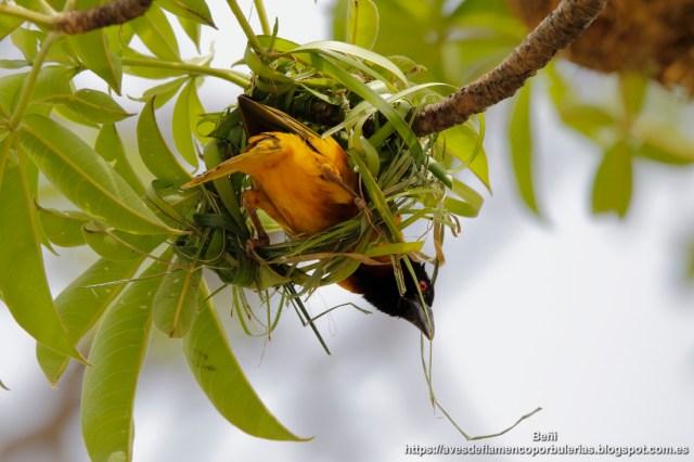 Tejedor comun construyendo el nido