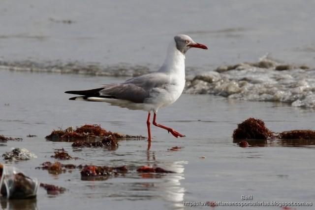 Gaviota cabecigris, grey-headed gull, Larus cirrocephalus