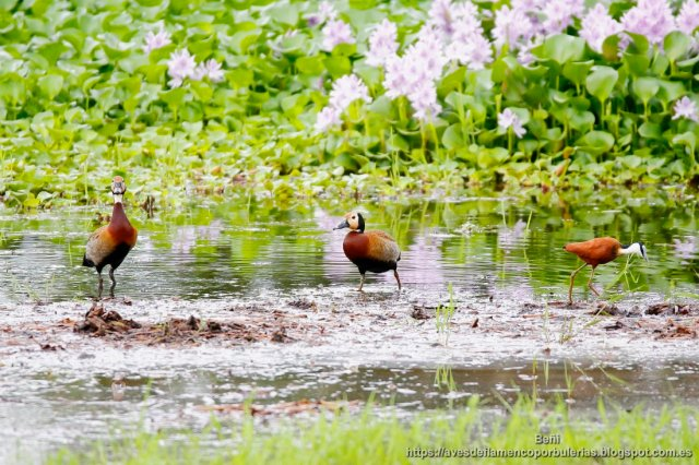 Suiriri cariblanco, White-faced Whisting-duck, Dendrocygna viduata en Gambia