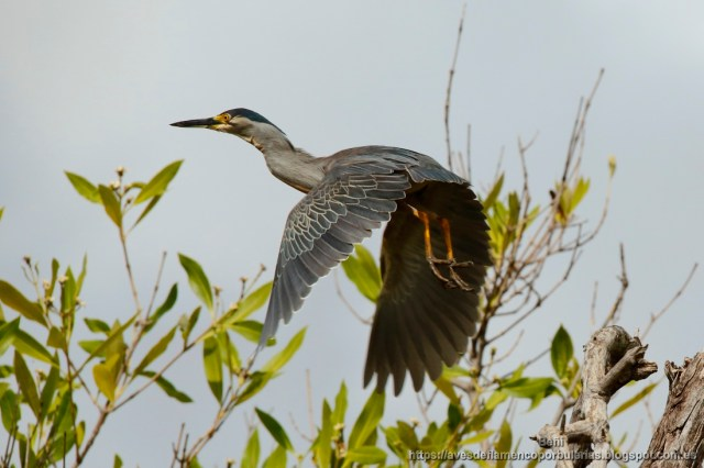 Garcita verdosa, green-backed heron, Butorides striata en Gambia