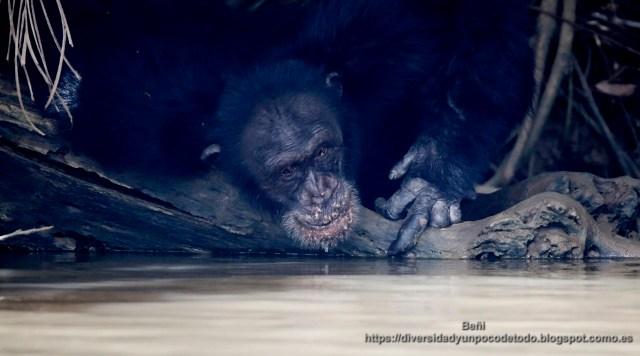 chimpance en el parque nacional rio gambia