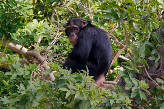 chimpance parque nacional rio gambia