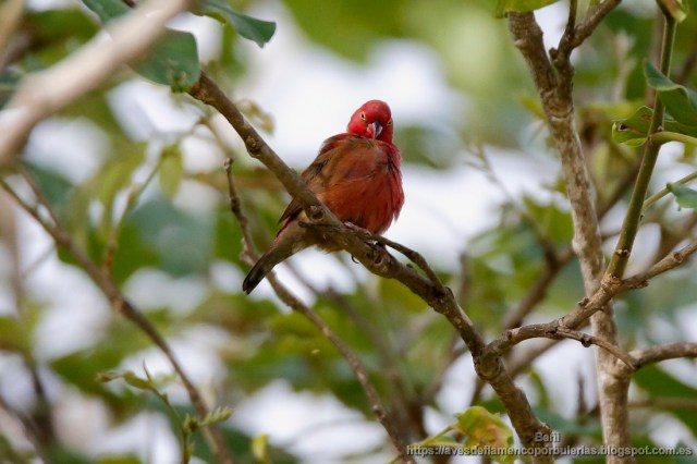 Amaranta senegalesa, red-billed firefinch, Lagonosticta senegala