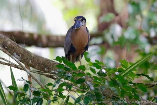 Martinete cucharon, boat-billed heron, Cochlearius cochlearius